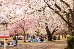 「弘前さくらまつり」が中止に・・今年はゆっくり自宅でできる津軽風お花見をしませんか?